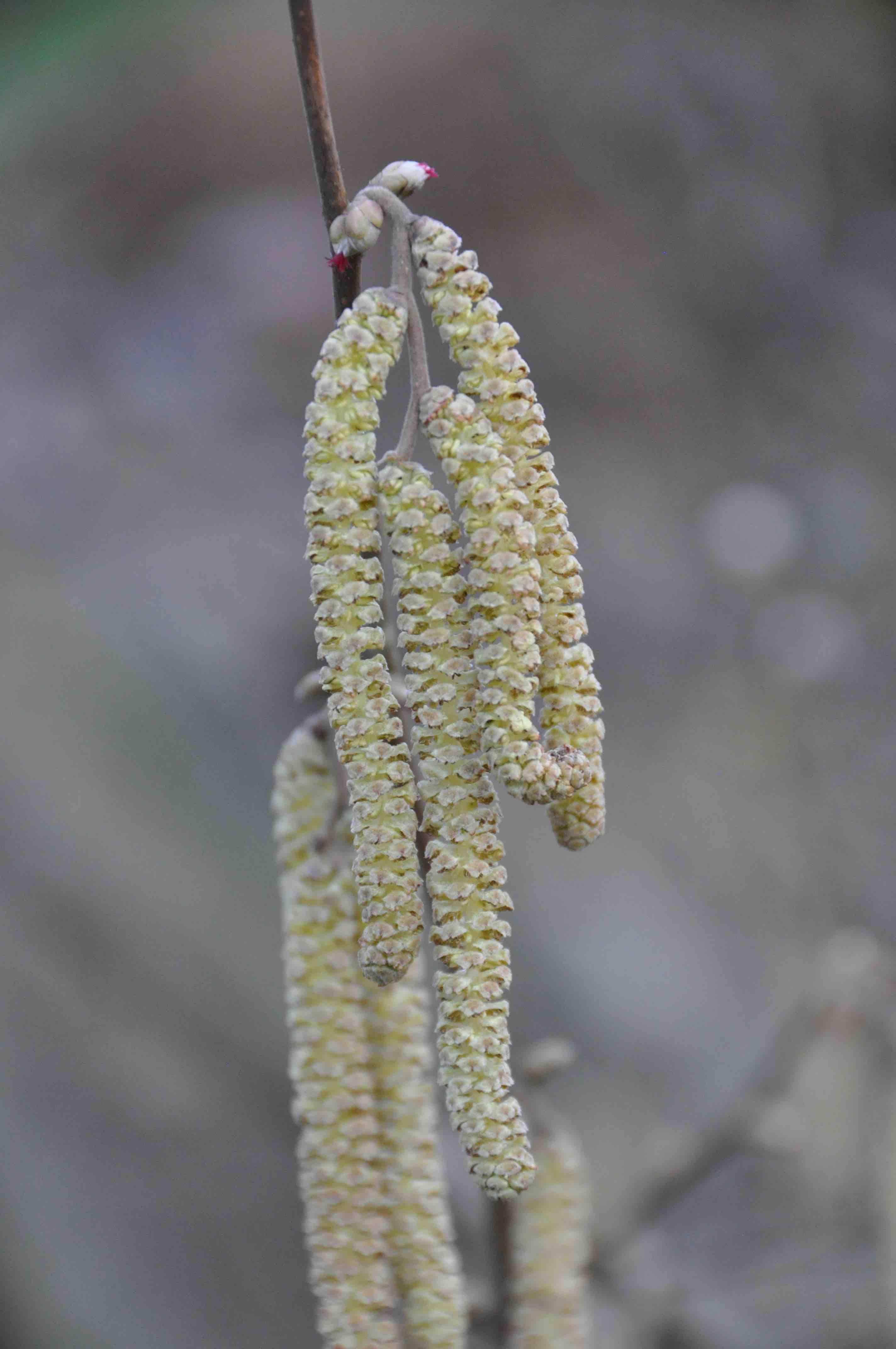 Fleurs Males Et Femelles De Noisetier 2015 S9 C A Kammerer